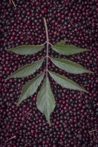 Elderberry for colds and flues