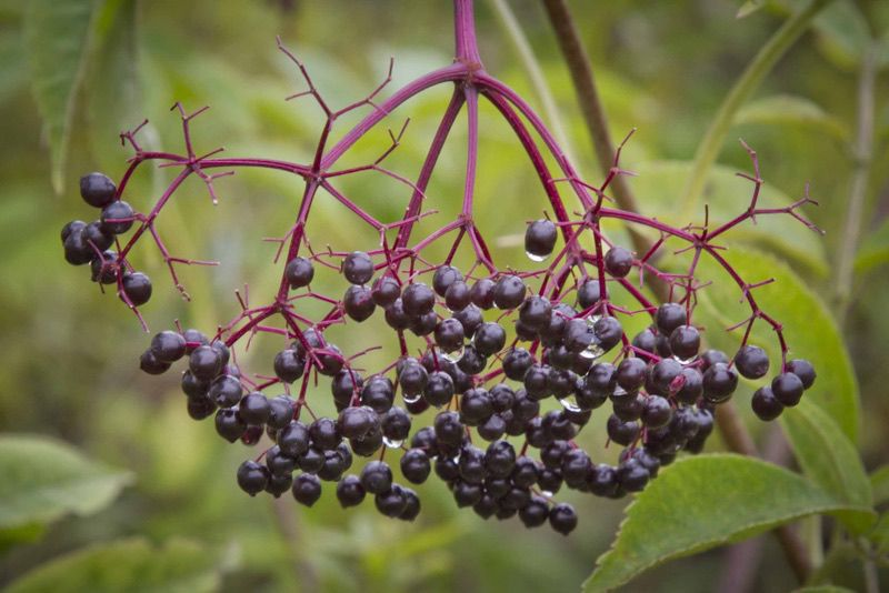 Elderberry - Natural treatments for colds and flues