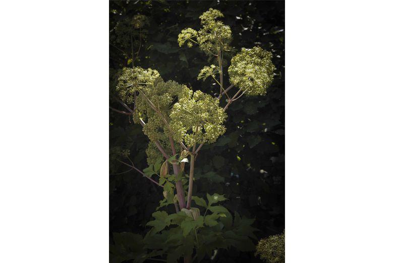 Garden-Angelica-bitter-herbs