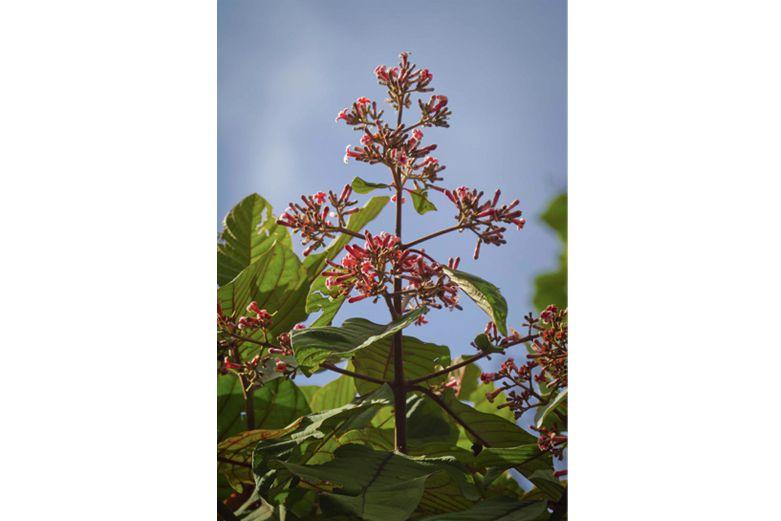 Chichona-bitter-herbs