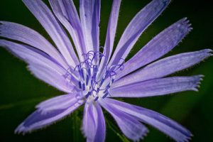 Chicory-bitter-herbs