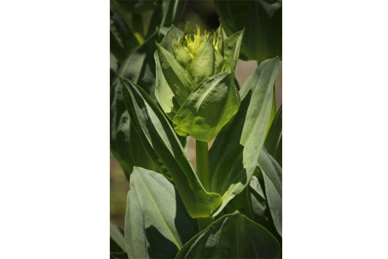 Gentian-Gentiana-lutea-bitter-herbs