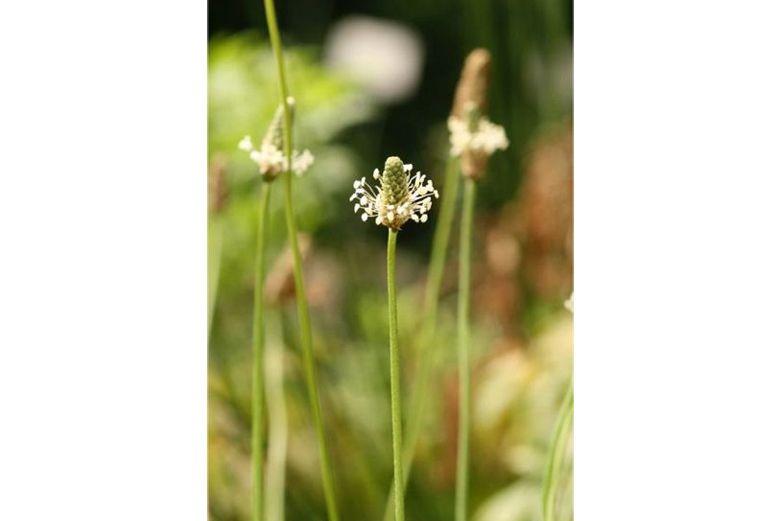 Psyllium - Herbs for Diearrhea