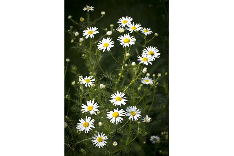 Chamomile - Herbs for ulcers