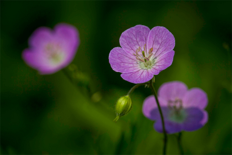 Crane's Bill - Astringent herbs