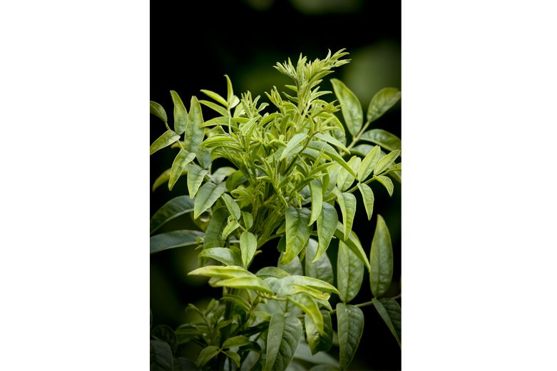 Licorice - herbs for ulcers