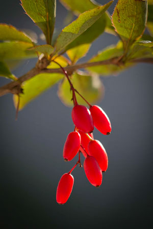 barberry-berberis-vulgaris