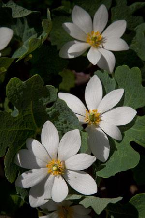 bloodroot-sanguinaria-canadensis