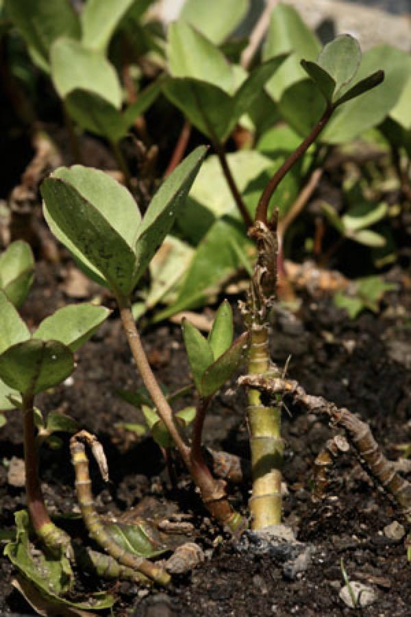 bogbean-menyanthes-trifoliata
