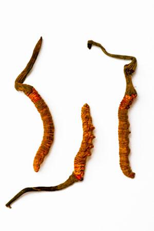 caterpillar-fungus-cordyceps-sinensis
