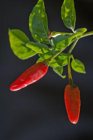 cayenne-capsicum-annuum