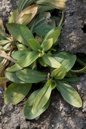 centaury-centaurium-erythraea