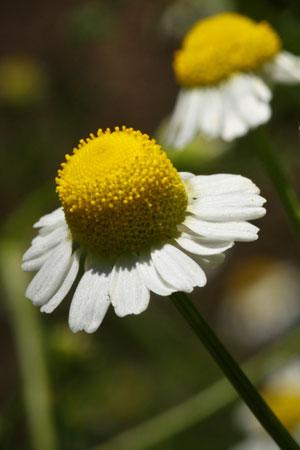 chamomile-german-matricaria-recutita