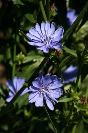 chicory-cichorium-intybus