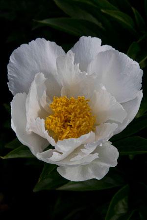 chinese-peony-paeonia-lactiflora