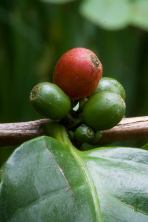 coffee-coffea-arabica