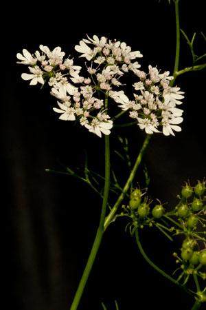 coriander-coriandrum-sativum