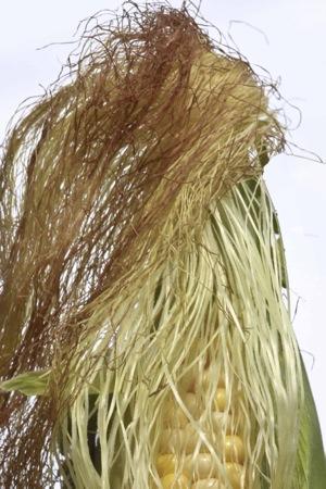 corn-silk-zea-mays