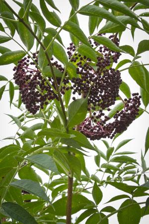 elderberry-elder-sambucus-canadensis
