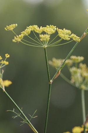 fennel-foeniculum-vulgare