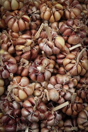 garlic-allium-sativum