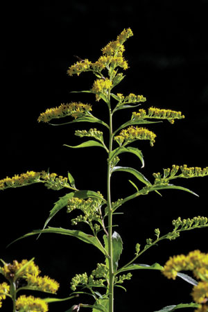 goldenrod-solidago-canadensis