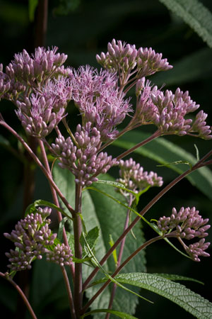 gravel-root-joe-pye-weed-eupatorium-purpureum