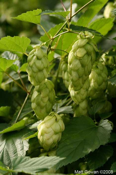 hops-humulus-lupulus