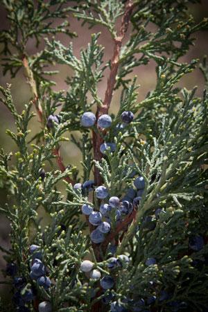 juniper-juniperus-communis