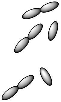 lactobacillus-delbrueckii-l-delbrueckii