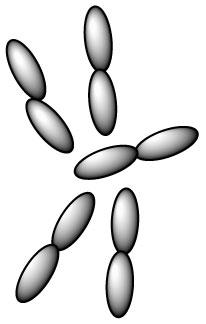 lactobacillus-plantarum-l-plantarum