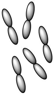 lactobacillus-salivarius-l-salivarius