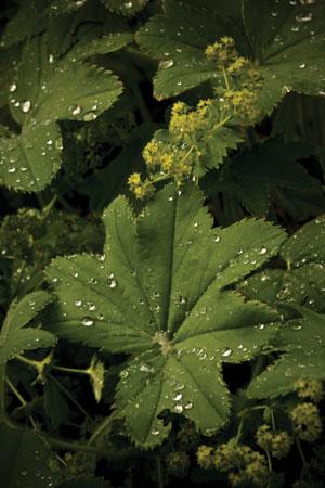 ladys-mantle-alchemilla-vulgaris
