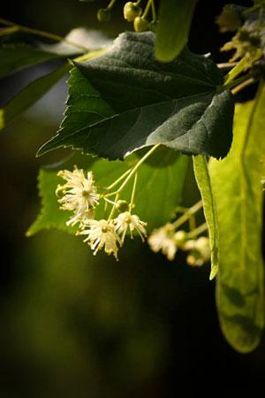 linden-flowers-tilia-europa