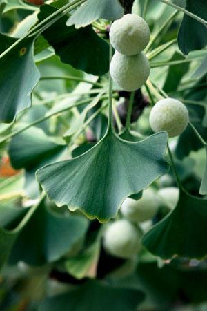 maidenhair-tree-ginkgo-ginkgo-biloba