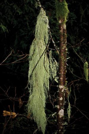 old-mans-beard-bear-lichen-usnea-barbata