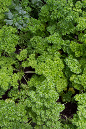 parsley-petroselinum-sativum
