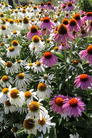 purple-cone-flower-echinacea-angustifolium