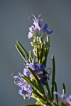 rosemary-rosmarinus-officinalis