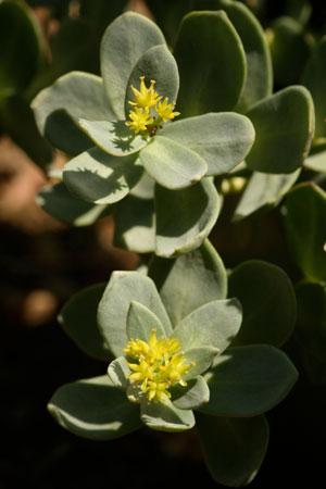 roseroot-rhodiola-rosea