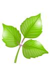 toxicodendron-dermatitis-poison-ivy-dermatitis
