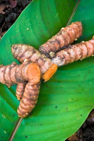turmeric-curcuma-longa