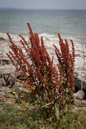 yellow-dock-rumex-crispus